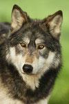 Wolves portfolio