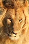 Lions portfolio