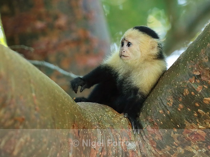 Young Capuchin monkey in tree, Panama - Monkey