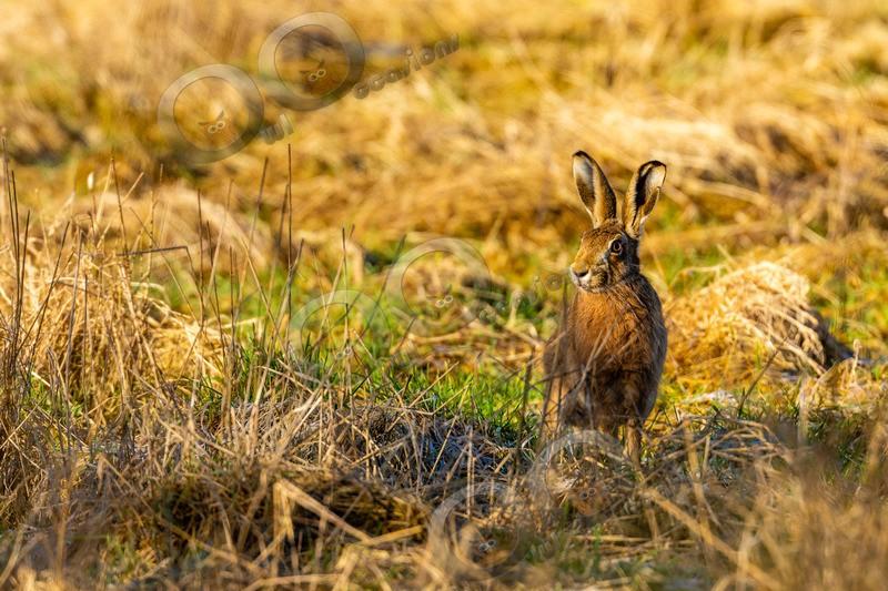 hare Lepus europaeus-4280 - UK Wildlife