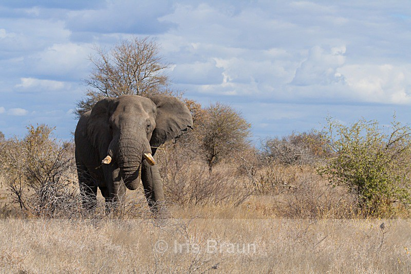 Dramatic sky over Kruger - Elephant