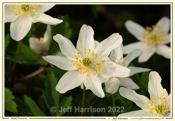 Wood Anemone (Image Code Anem 01) - Trees, Plants, Flowers & Garden scenes