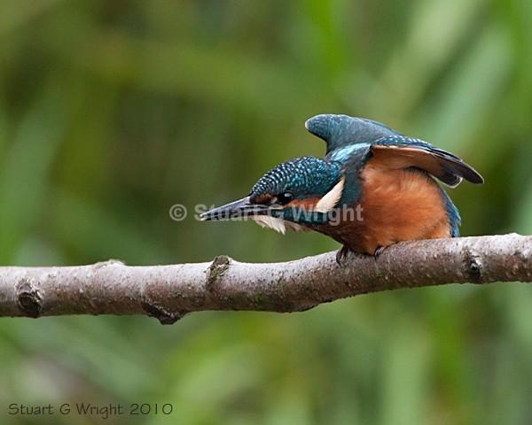 25 - Kingfisher