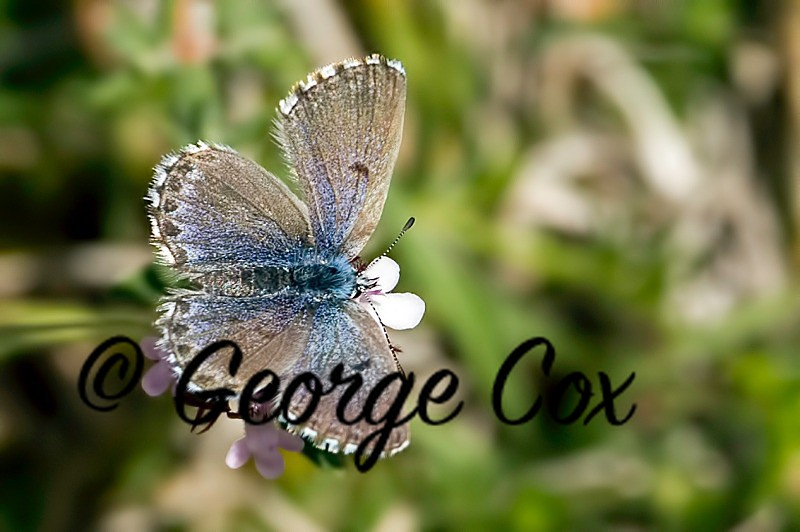 Baton Blue - Vercors Butterflies