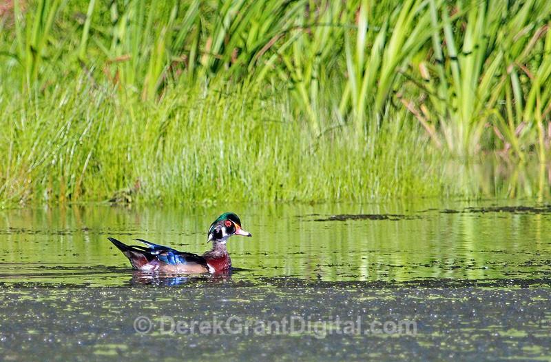 Wood Duck (male) - 2 - Birds of Atlantic Canada