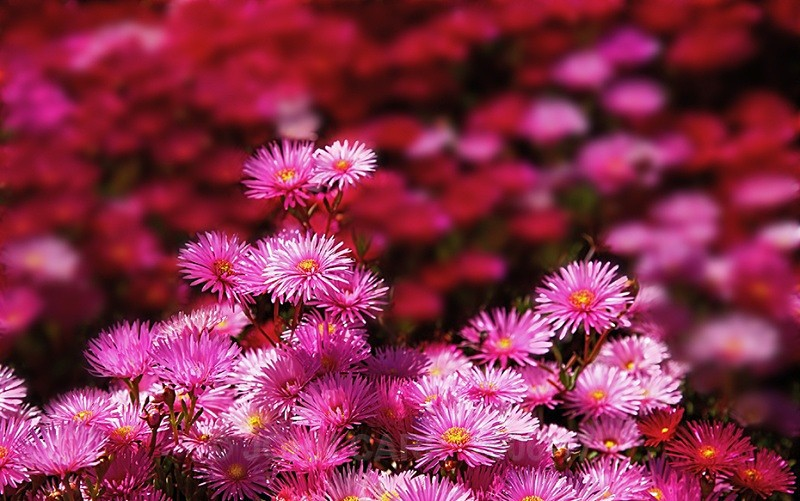 Pinks-6494 - TREES, FLOWERS AND PLANT PHOTOS