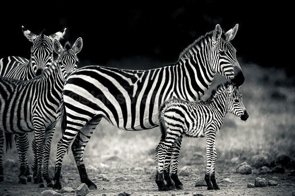 Zebra, Soysambu, Kenya