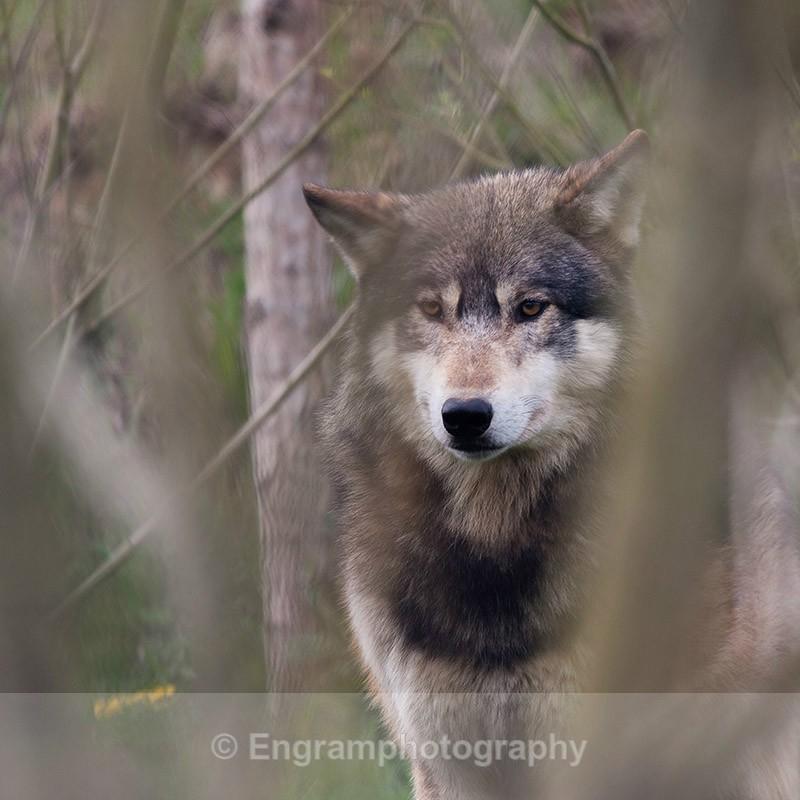 Wolf Watching-R5616 - Animals (Fauna)