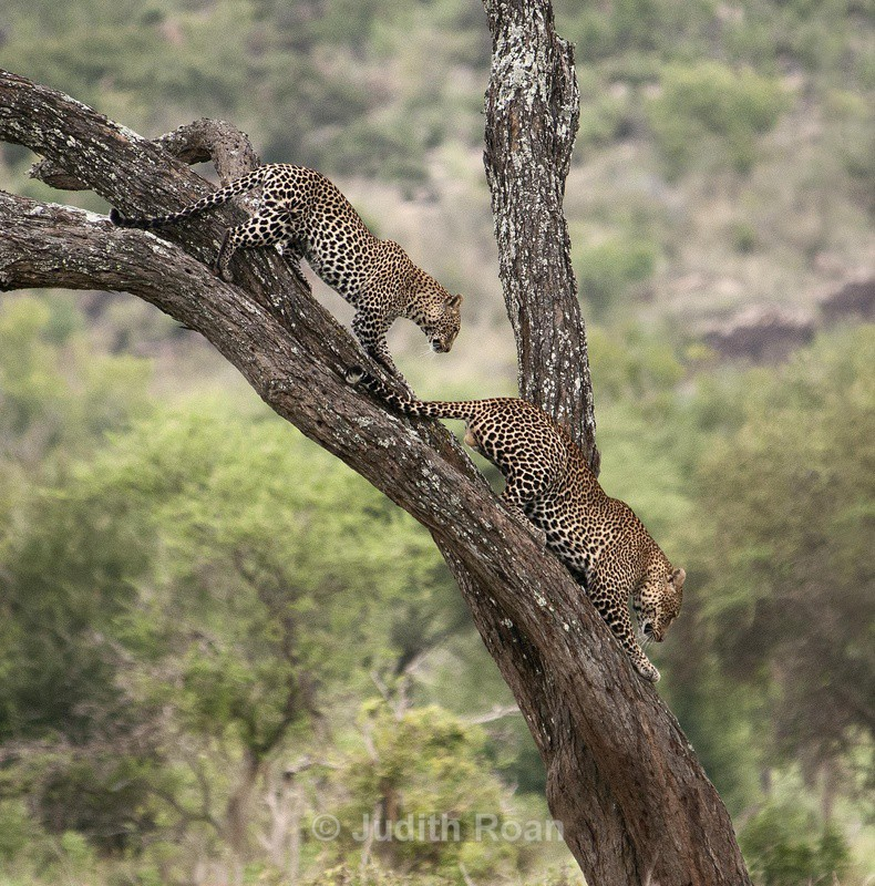 Leopard Pair - Tanzania Birds and Mammals