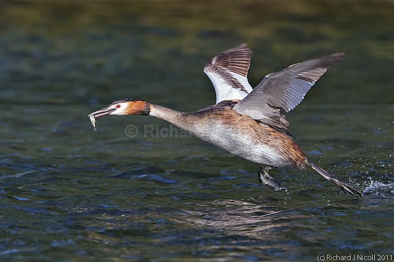 Great Crested Grebe (Podiceps cristatus) with prey - Great Crested Grebe (Podiceps cristatus)