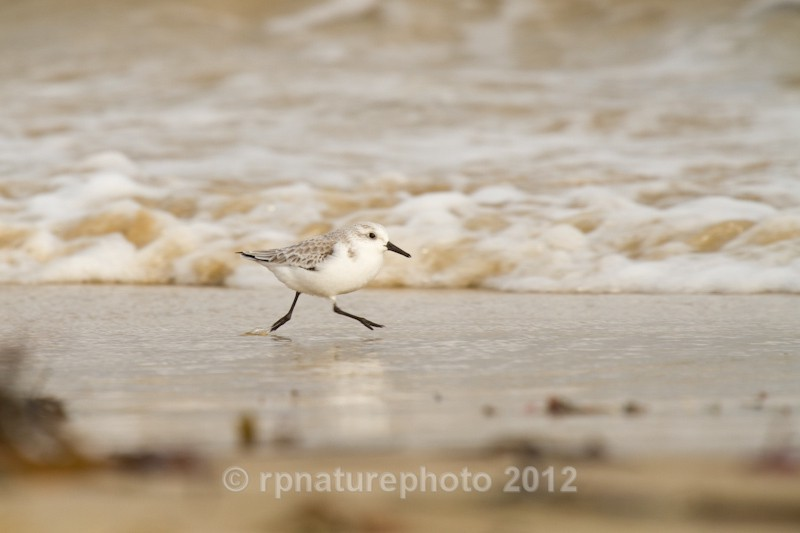 Sanderling - Calidris alba RPNP0675 - Birds