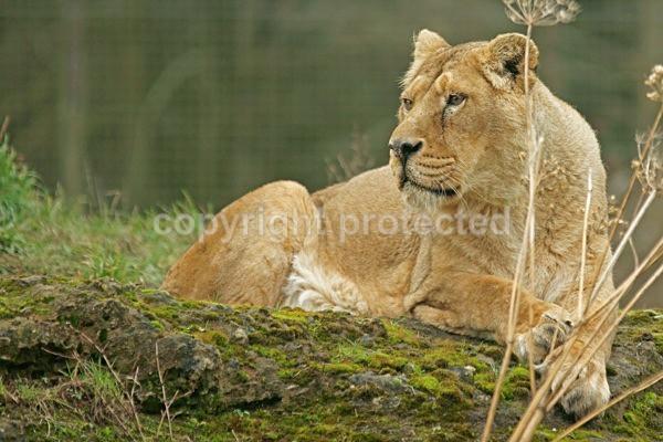 Asiatic lioness resting (Cotswold Wildlife Park) - Asiatic Lions