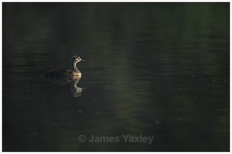 Grebe Chick  - Latest Work