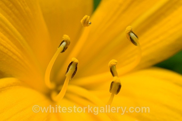 Yellow Lilly - Up Close !