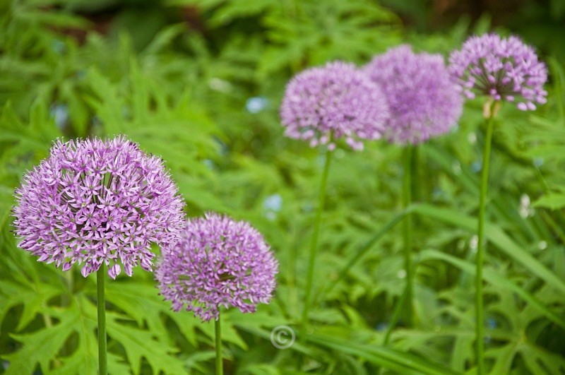 Garden Allium - FLOWERS