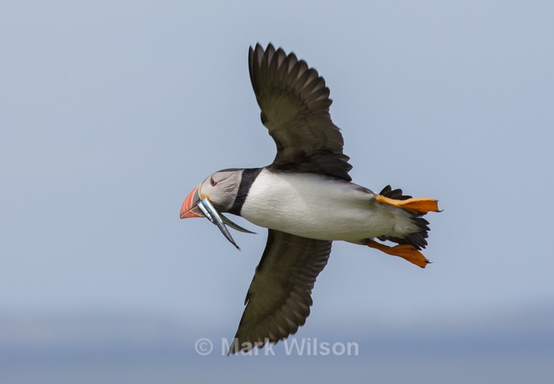 Puffin w Sand Eels - Seabirds