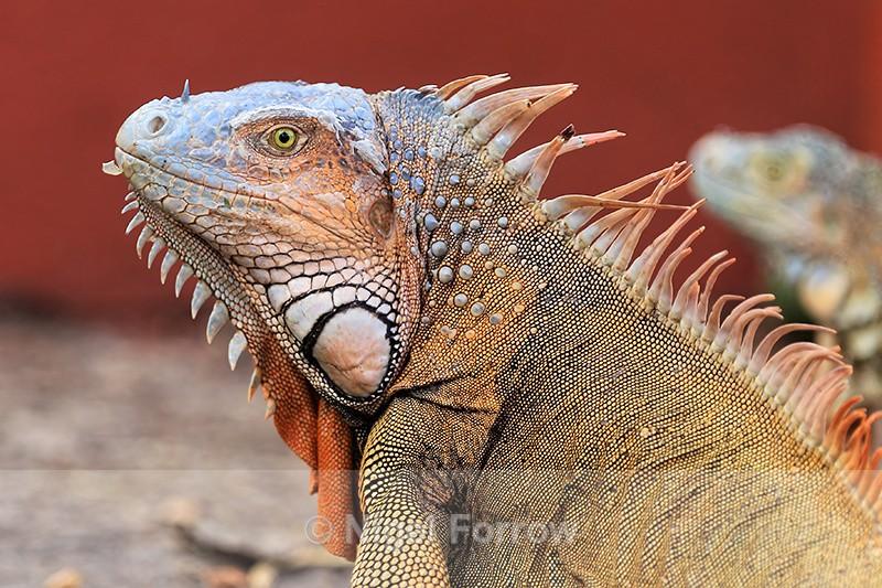 Green Iguana close, Costa Rica - REPTILES & AMPHIBIANS