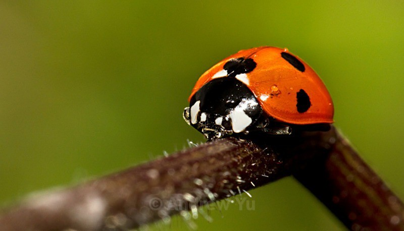 Ladybird on a stalk - Macro Photography