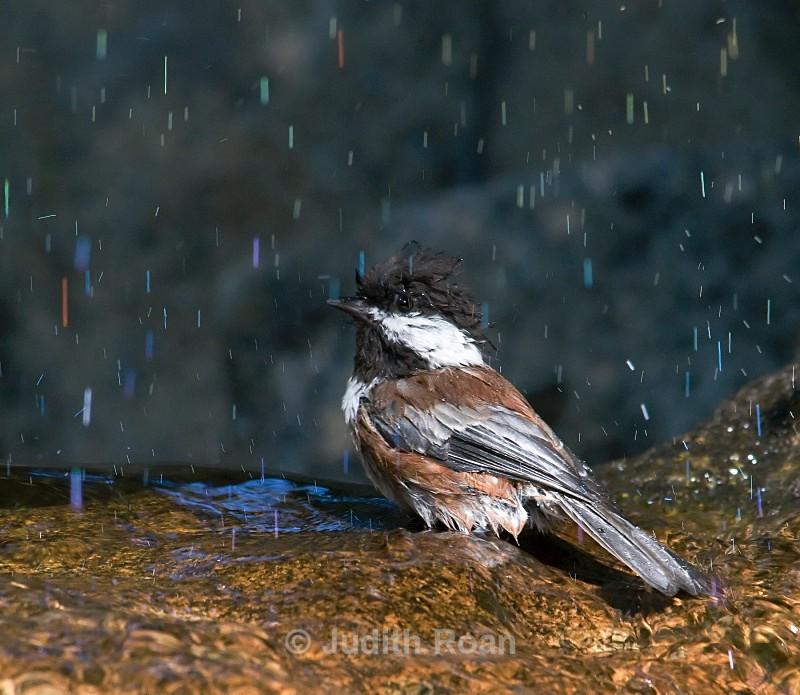 Chestnut-backed Chickadee - Backyard Bathing Birds