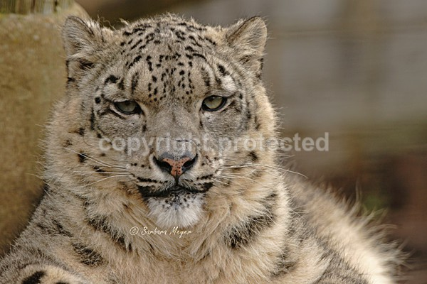Snow Leopard - Omega - Cat Survival Trust - Big and Small Wild Cats