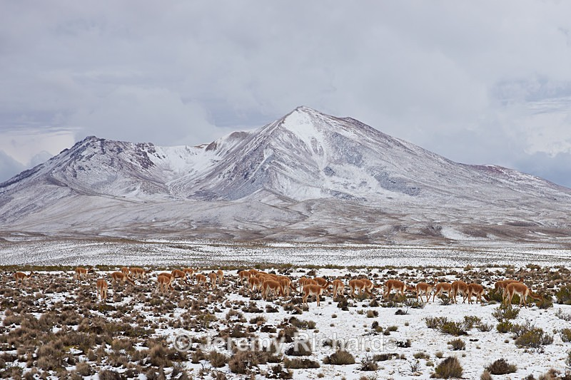 Herd of Vicuna - Wildlife of Chile