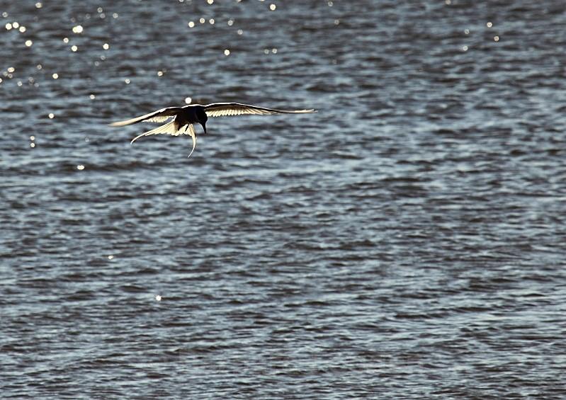 Arctic Tern 2356 - Wildlife