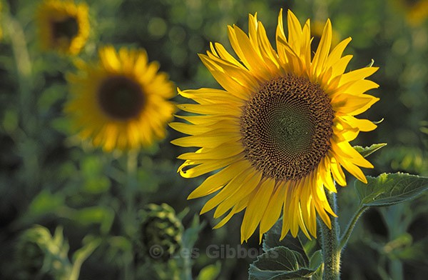 sunflowers3 - Provence