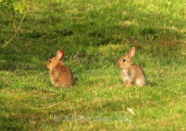 Two young Rabbits (image Rab 01) - Mammals