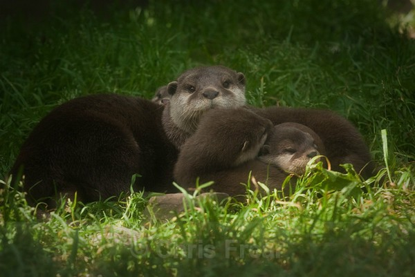 Frear-Otters - For T&C