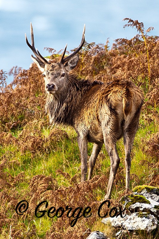 Red Deer Stag - Mammals