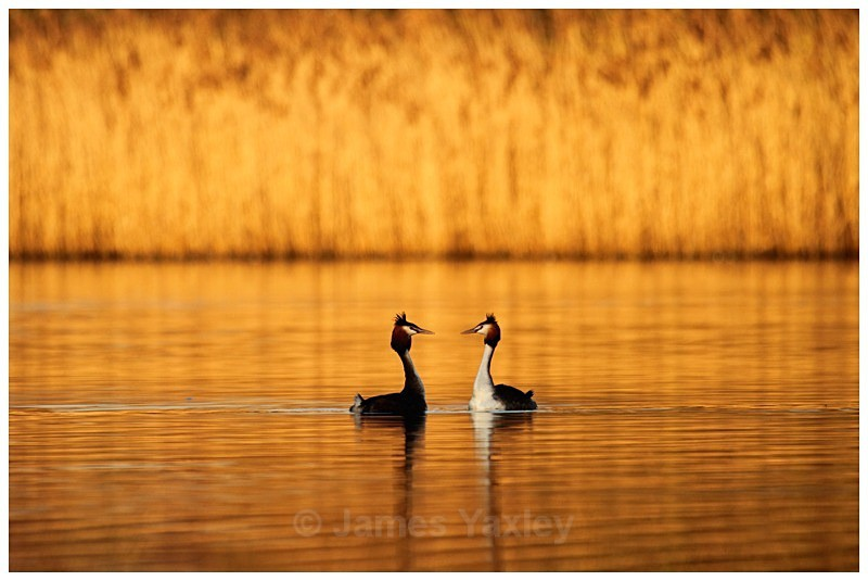 Great Crested Grebe Courtship - The British Wildlife Photography Awards 2009 to 2014