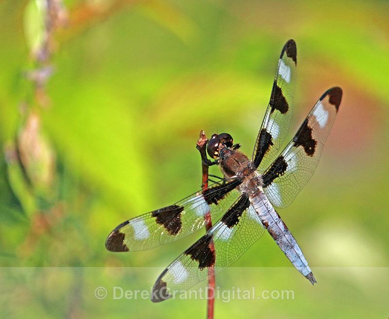 Libellula pulchella (male) - Dragonflies of Atlantic Canada