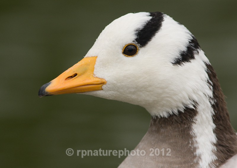Bar Headed Goose - Anser indicus RPNP0063 - Birds