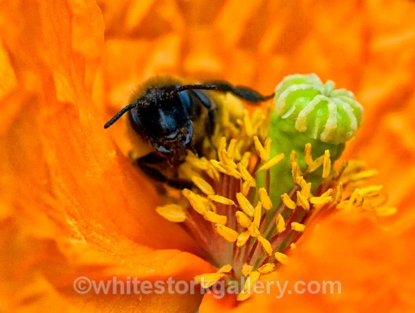 The Bee in the Poppy 2 - Up Close !