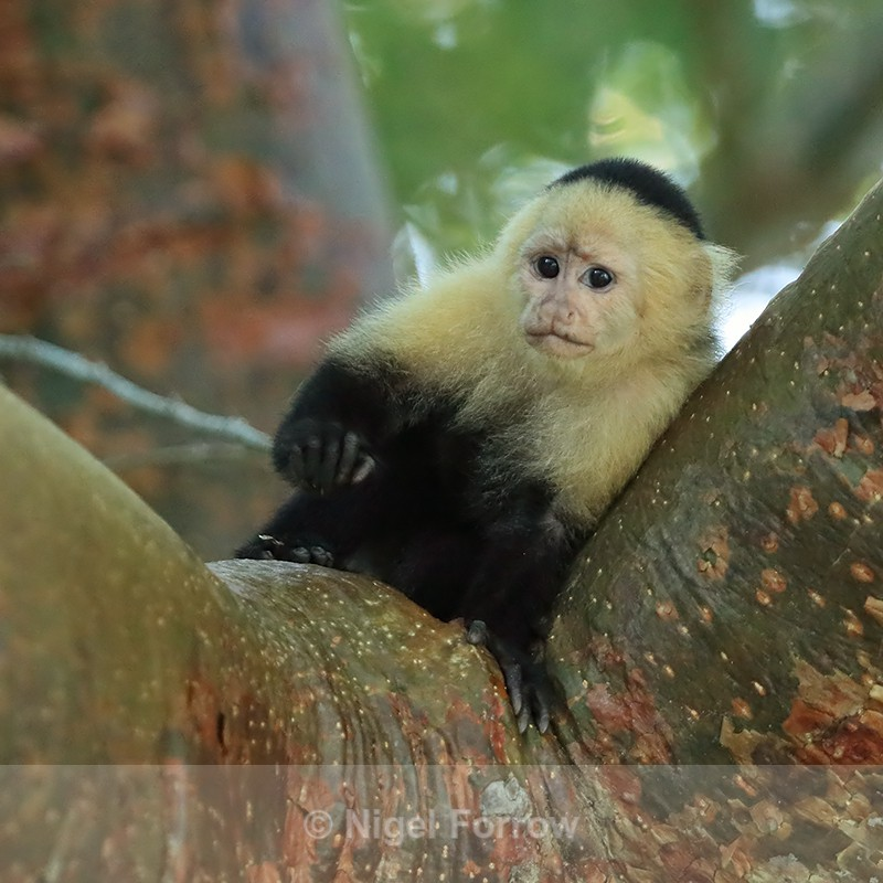 Young White-throated Capuchin, Panama - Monkey