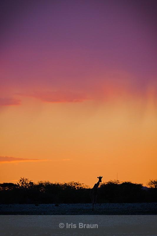 Dramatic Sky - Giraffe