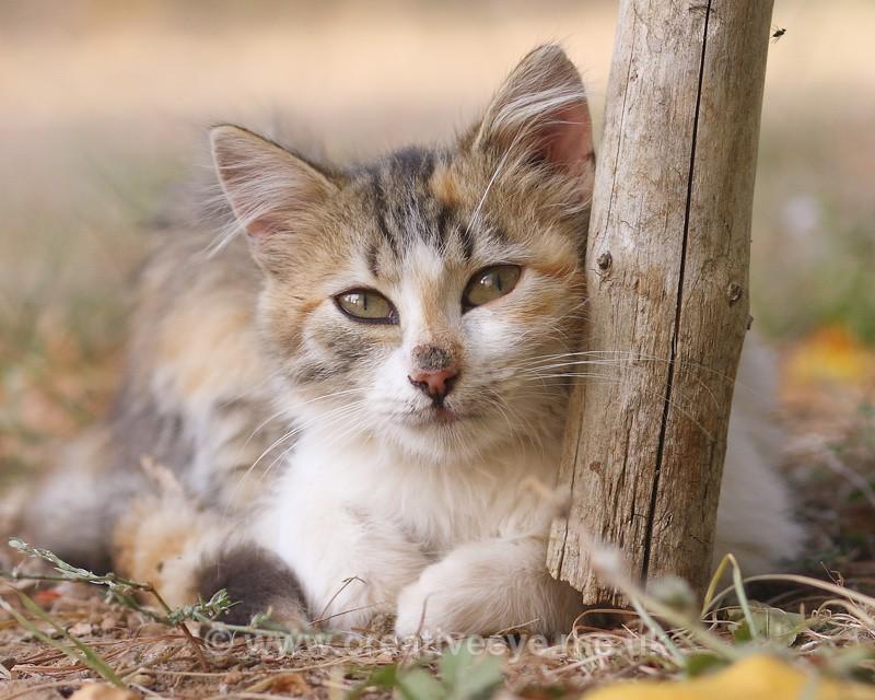 Thassos Cat - All things Feline