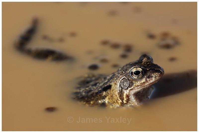Common Frog Portrait - Amphibians