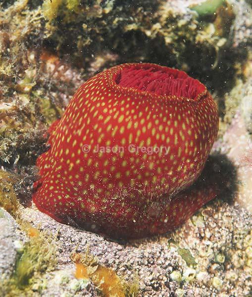 Actinia fragacea - Anemones (Anthozoa)