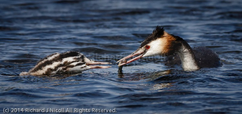 Great Crested Grebe (Podiceps cristatus) adult feeding juvenile - Great Crested Grebe (Podiceps cristatus)