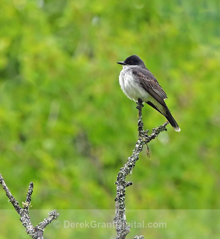 Tyrannus tyrannus - Birds of Atlantic Canada