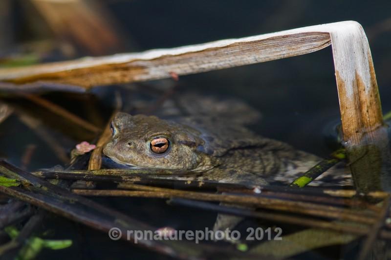 Common Toad - Bufo bufo RPNP0046 - Amphibians & Reptiles