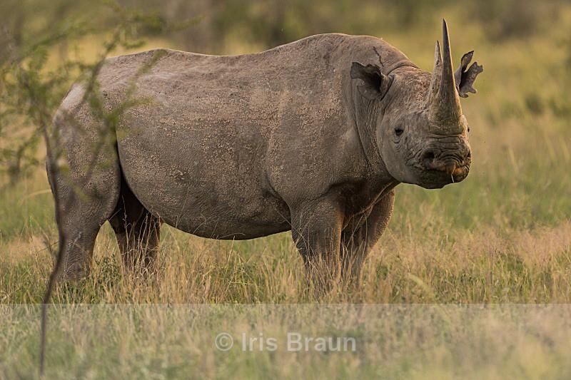Cool Rhino II - Rhino