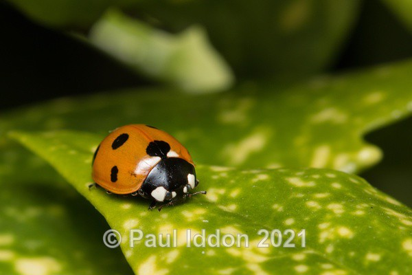 Which way Ladybird? - Macro