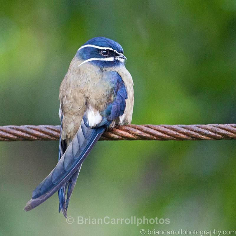 Whiskered Tree Swift - Wildlife
