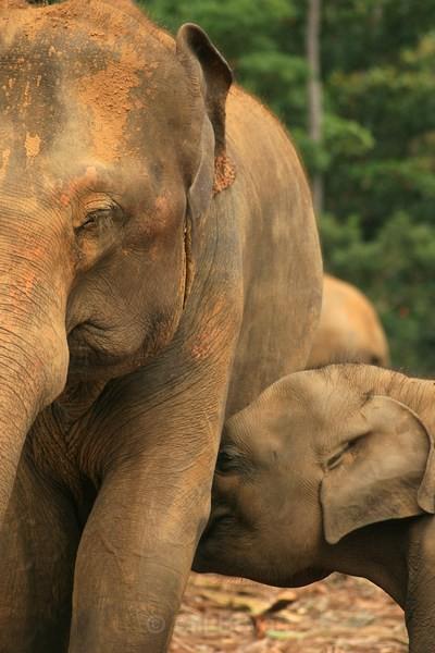 Baby Elephant Feed - Elephant