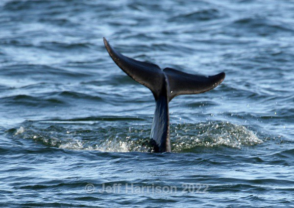 Tail of bottle-nosed Dolphin (image Dolph 01) - Mammals