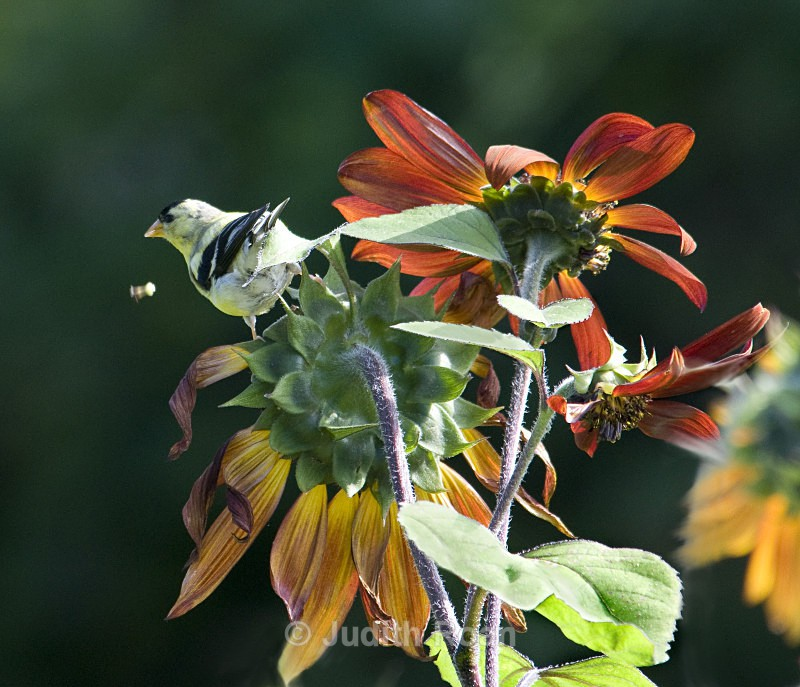 American Goldfinch on Sunflower - Backyard Birds of Mercer Island