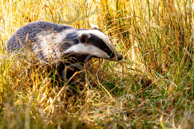 badger Meles meles-8740 - UK Wildlife