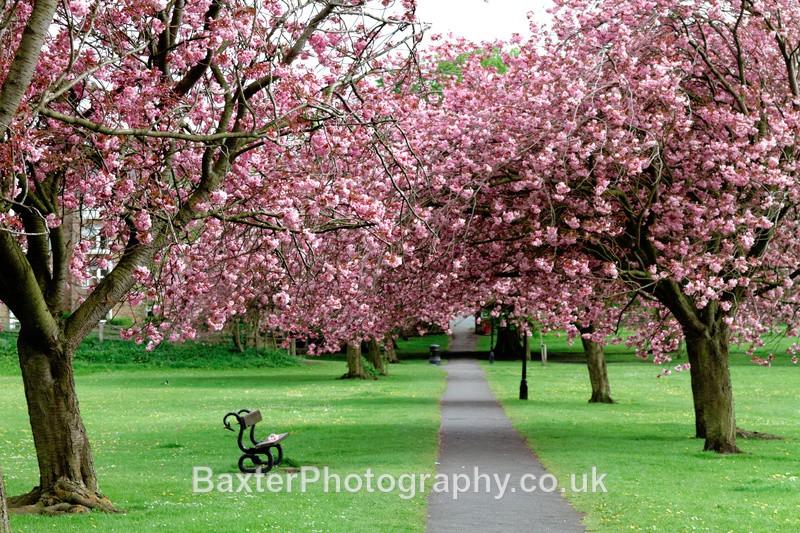 Seat Amongst The Blossom - Harrogate Town